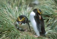 Macaroni Penguin (Eudyptes chrysolophus) photo