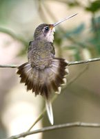 Straight-billed Hermit - Phaethornis bourcieri