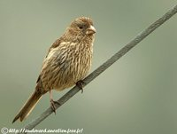 Red-mantled Rosefinch - Carpodacus rhodochlamys