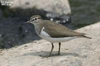 Tringa hypoleucos , 깝작도요 - Common Sandpiper