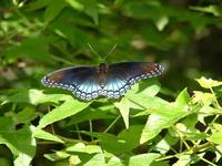 Limenitis arthemis astyanax - Red-spotted Purple