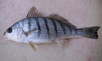 Umbrina coroides, Sand drum: fisheries, bait