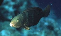 Chlorurus bleekeri, Bleeker's parrotfish: fisheries, aquarium