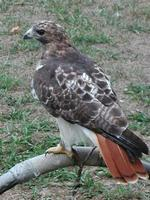 Image of: Buteo jamaicensis (red-tailed hawk)
