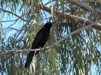 Image of: Quiscalus mexicanus (great-tailed grackle)