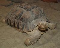 Image of: Geochelone sulcata (African spurred tortoise)