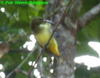 Thick-billed Spiderhunter - Arachnothera crassirostris