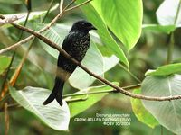 Crow-billed Drongo - Dicrurus annectans