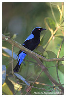 Asian Fairy Bluebird - Irena puella
