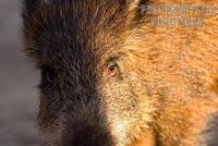 Wild boar close up , maremma , Italy stock photo