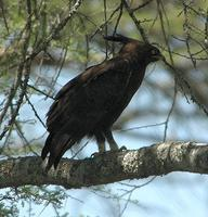 Long-crested Eagle p.78
