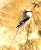 Chinese Gray Shrike