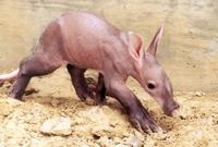 6 Week Old Baby Aardvark