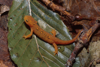 : Notophthalmus viridescens; Red-spotted Newt