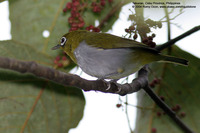 Everett's White-eye Scientific name - Zosterops everetti