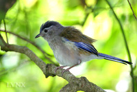 Blue-winged Minla 藍翅希眉鳥