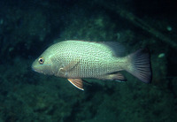 Lutjanus argentimaculatus, Mangrove red snapper: fisheries, aquaculture, gamefish