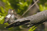 Image of: Contopus cooperi (olive-sided flycatcher)