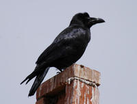 Image of: Corvus macrorhynchos (large-billed crow;jungle crow)