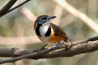 Image of: Garrulax pectoralis (greater necklaced laughing-thrush)