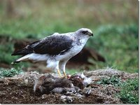 Red-backed Hawk - Buteo polyosoma