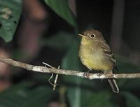 Yellow-bellied Flycatcher (Empidonax flaviventris) photo