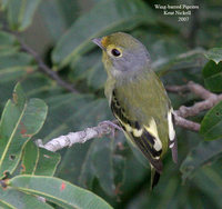 Wing-barred Piprites - Piprites chloris