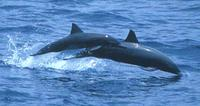A mother and calf Eastern Spinner Dolphin Stenella longirostris orientalis