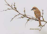 Brown shrike C20D 03717.jpg
