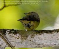 Narcissus/Green-backed Flycatcher