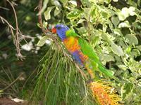 ...Rainbow Lorikeet,  Trichoglossus haematodus, Coolum, Queensland, September 2004. Photo © Barrie