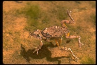 : Hyla arenicolor; Canyon Tree Frog
