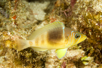 : Hypoplectrus unicolor; Barred Hamlet