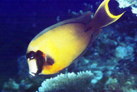 Acanthurus pyroferus, Chocolate surgeonfish: fisheries, aquarium
