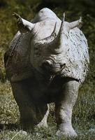 Image of: Diceros bicornis (black rhinoceros)