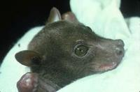 Image of: Harpyionycteris whiteheadi (harpy fruit bat)