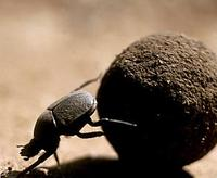 Image of: Scarabaeidae (scarab beetles)