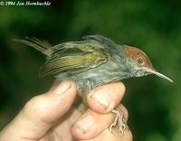 Grey-backed Tailorbird - Orthotomus derbianus