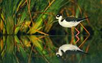 Black-necked Stilt (Himantopus mexicanus) photo