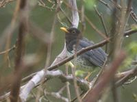 Gray (Japanese) Thrush (Turdus cardis) photo