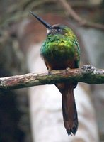 White-chinned Jacamar - Galbula tombacea