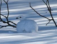 Willow Ptarmigan April 06