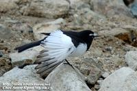 Fig. 16. Japanese Wagtail : 검은등할미새