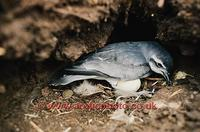 FT0150-00: Slender Billed Prion, Pachyptila vittata, at its nest with an egg. Sub Antarctic Isla...
