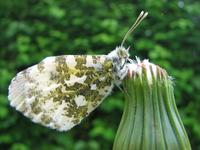 Anthocharis cardamines - Orange Tip