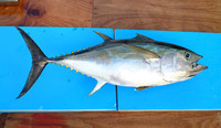 Thunnus obesus, Bigeye tuna: fisheries, gamefish