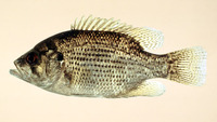 Ambloplites rupestris, Rock bass: fisheries, gamefish, aquarium