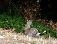 Image of: Oryctolagus cuniculus (European rabbit)