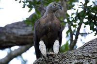 Image of: Ichthyophaga ichthyaetus (grey-headed fish eagle)