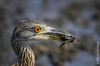Image of: Nyctanassa violacea (yellow-crowned night heron)